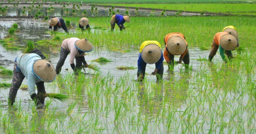 Kolaborasi Nestle dalam Pembangunan Pedesaan dengan Petani Lokal